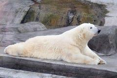 Weißer Eisbär Lizenzfreies Stockfoto