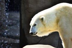 Weißer Eisbär Stockfotos