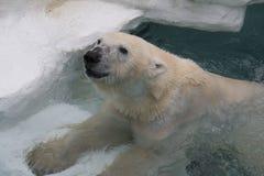 Weißer Eisbär stockfotografie