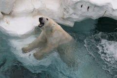 Weißer Eisbär lizenzfreie stockbilder
