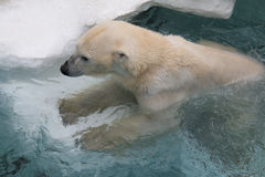 Weißer Eisbär lizenzfreie stockfotografie