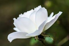Weißer Eisberg Rose Bloom mit weicher künstlerischer Unschärfe lizenzfreie stockfotos