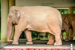 Weißer Elefant in Min Dhama Hill, Rangun, Myanmar Lizenzfreies Stockbild