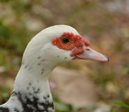 Weißer Ente-Kopf Stockfoto