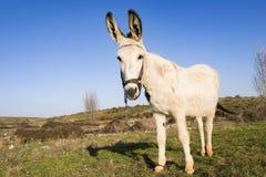 Weißer Esel Lizenzfreies Stockbild
