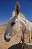 Weißer Esel Stockfotos