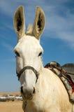 Weißer Esel Lizenzfreies Stockfoto