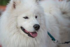 Weißer Eskimohund Stockfoto