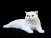 Weißer exotischer persischer kupferner Augenkatzeschwarzsamt Stockfoto