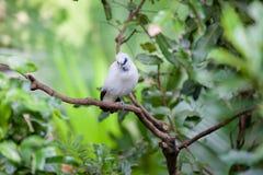 Weißer exotischer Vogel auf einer Niederlassung Lizenzfreie Stockfotografie