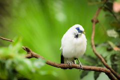 Weißer exotischer Vogel auf einer Niederlassung Lizenzfreies Stockfoto