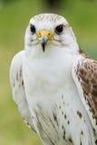 Weißer Falke Stockfotografie