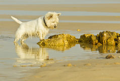 Weißer flaumiger Hund, der entlang eines Felsens entlang des Strandes anstarrt Lizenzfreie Stockfotos