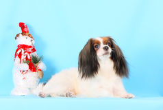 Weißer flaumiger Hund liegt auf einem blauen Hintergrund Neues Jahr Flaumiger schöner Welpe Weihnachten Stockfotografie