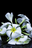Weißer Frangipani lokalisiert auf schwarzem Hintergrund Stockfotografie