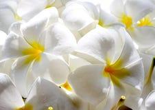 Weißer Frangipani mit Tröpfchen Plumeriablume lizenzfreies stockfoto