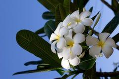 Weißer Frangipani Plumeria gegen den blauen Himmel Lizenzfreies Stockfoto