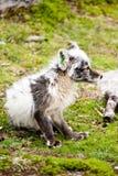 Weißer Fuchs Lizenzfreies Stockfoto