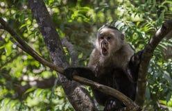 Weißer gegenübergestellter Affe überrascht Lizenzfreies Stockfoto