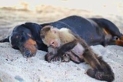 Weißer gegenübergestellter Affe, der im Sand mit seinem besten Freund spielt Stockbild