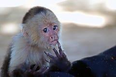 Weißer gegenübergestellter Affe, der im Sand spielt Lizenzfreies Stockfoto