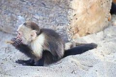 Weißer gegenübergestellter Affe, der im Sand spielt Stockfotos