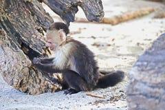Weißer gegenübergestellter Affe, der im Sand spielt Stockbild