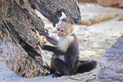 Weißer gegenübergestellter Affe, der im Sand spielt Lizenzfreie Stockfotos
