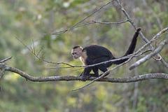 Weißer gegenübergestellter Affe, der nach Lebensmittel sucht Stockbilder