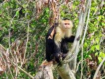 Weißer gegenübergestellter Affe, der wartet, um Lebensmittel von den Leuten zu erhalten Lizenzfreie Stockfotografie