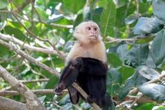 Weißer gegenübergestellter Affe drei Viertel Lizenzfreies Stockbild