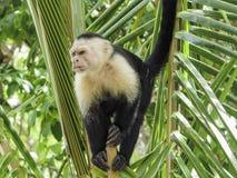 Weißer gegenübergestellter Affe in einem Baum Lizenzfreie Stockfotos