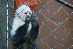 Weißer gegenübergestellter Affe von Costa Rica Lizenzfreies Stockfoto