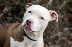 Weißer gegenübergestellter Pit Bull Terrier Stockfoto