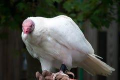 Weißer Geier, der Kameragefangenen gegenüberstellt Lizenzfreie Stockbilder