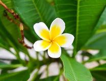 Weißer gelber Plumeria auf Blatthintergrund Lizenzfreie Stockfotografie