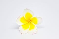 Weißer gelber Plumeria auf weißem Hintergrund Lizenzfreies Stockfoto