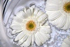Weißer Gerbera Stockbild