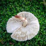 Weißer gerippter Pilz auf Rasen Stockfotos