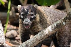 Weißer gerochener Coati stockbild