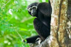 Weißer Gibbon Stockbild