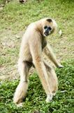 Weißer Gibbon. Stockbild
