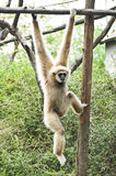 Weißer Gibbon. Stockfotografie