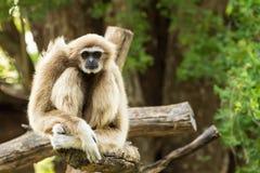 Weißer Gibbon Lizenzfreie Stockfotografie