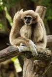 Weißer Gibbon Stockfotografie