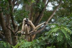 Weißer Gibbon Stockbilder