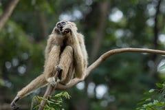Weißer Gibbon Lizenzfreie Stockfotos