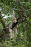Weißer Gibbon Lizenzfreies Stockbild