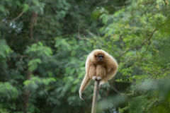 Weißer Gibbon Lizenzfreies Stockfoto