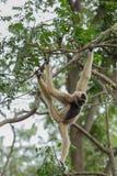 Weißer Gibbon Stockfoto